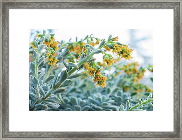 Mexican Echeveria In The  Morning Framed Print