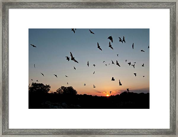 Mexican Free-tailed Bats Tadarida Framed Print