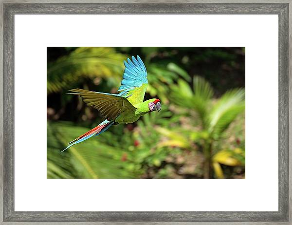 Military Green Macaw At Flight Against Framed Print
