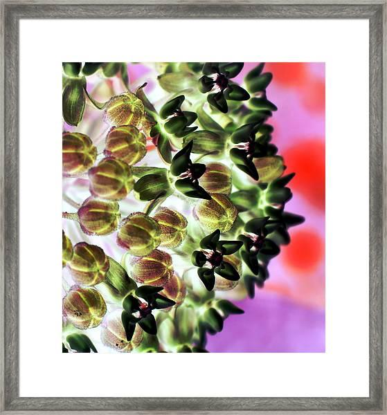 Milkweed 1323 Framed Print
