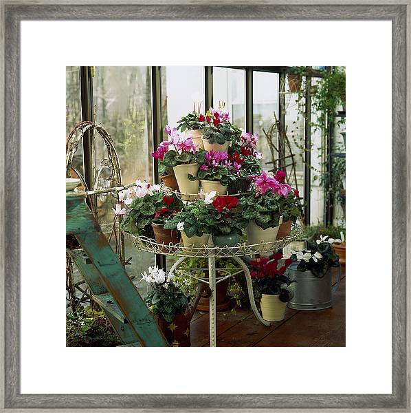 Mixed Cyclamens Cyclamen On Plant Framed Print