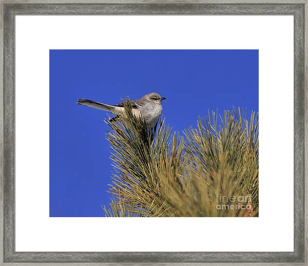Mockingbird In White Pine Framed Print