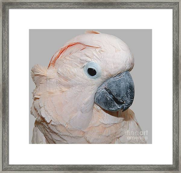 Moluccan Cockatoo Framed Print