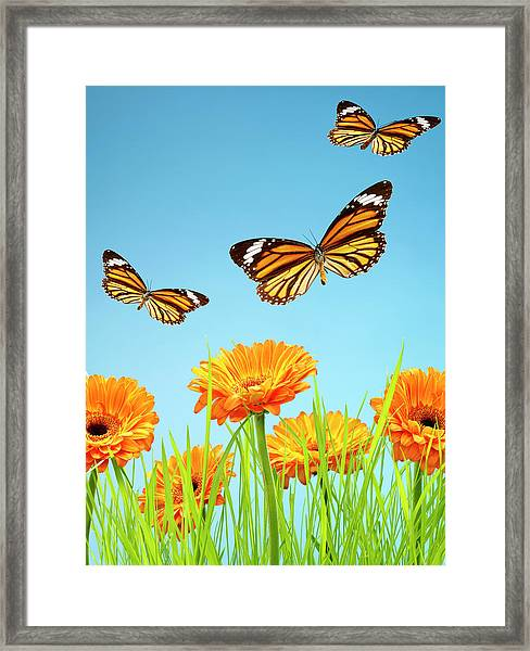 Monarch Butterflies With Grass And Framed Print by Chris Stein