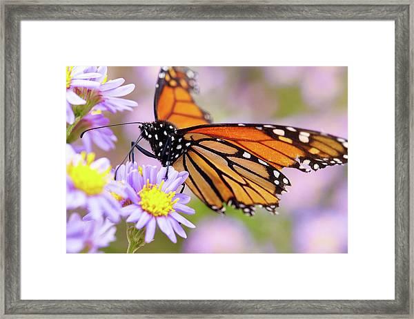 Monarch Close-up Framed Print