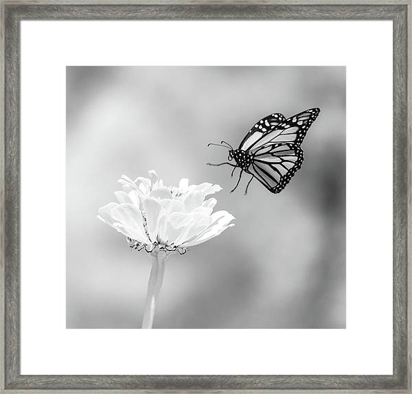 Monarch In Infrared 6 Framed Print