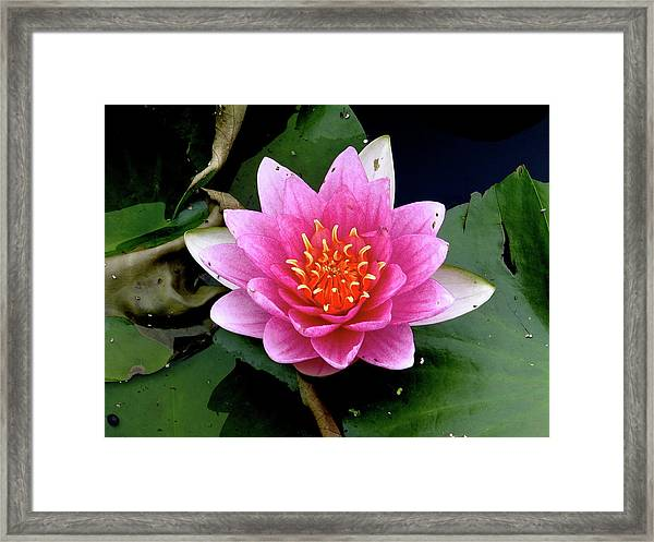 Monet Water Lilly Framed Print