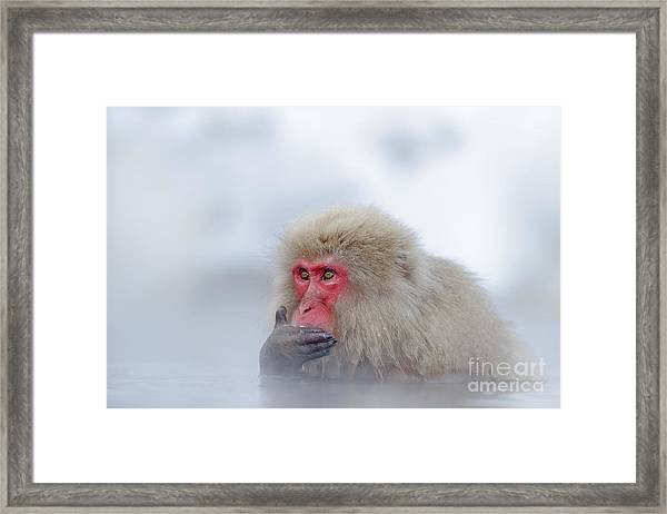 Monkey Japanese Macaque, Macaca Framed Print