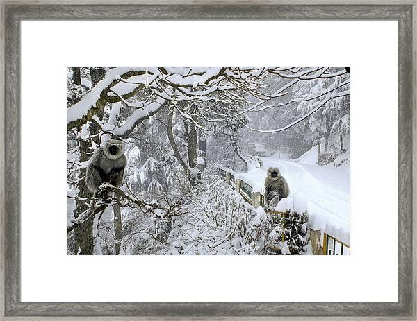Monkeys In A Winter Snow Storm Framed Print