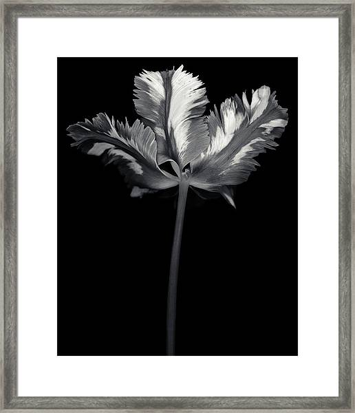 Monochrome Parrot Tulip With Framed Print