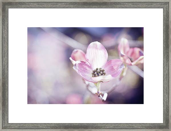 Morning Dogwood Framed Print