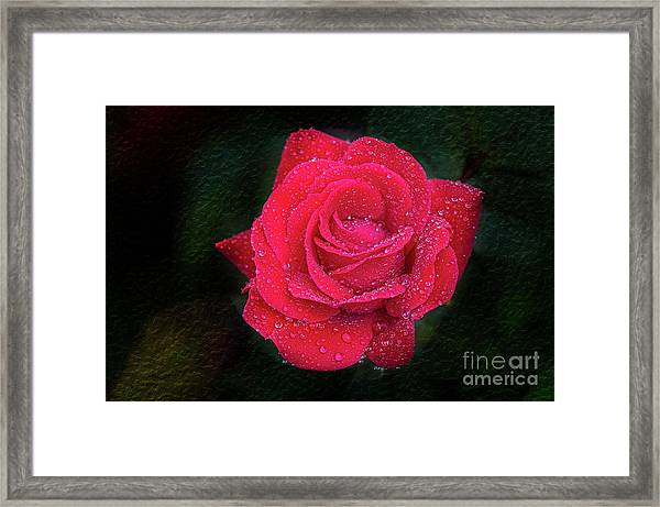 Morning Mist On Red Rose Framed Print