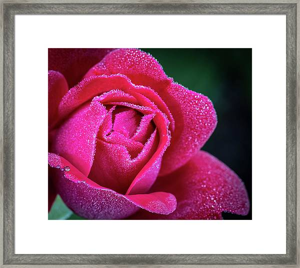 Morning Rose Framed Print