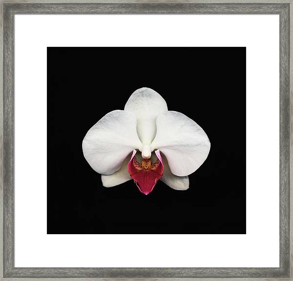 Moth Orchid Against Black Background Framed Print