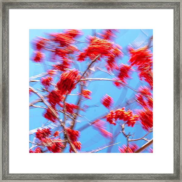Mountain Ash Tree With Berries In Very Strong Wind Framed Print
