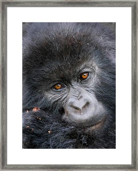 Mountain Gorilla Gorilla Beringei Framed Print