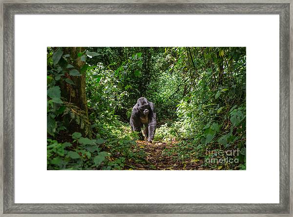 Mountain Gorillas In The Rainforest Framed Print