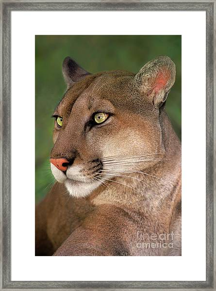 Mountain Lion Portrait Wildlife Rescue Framed Print