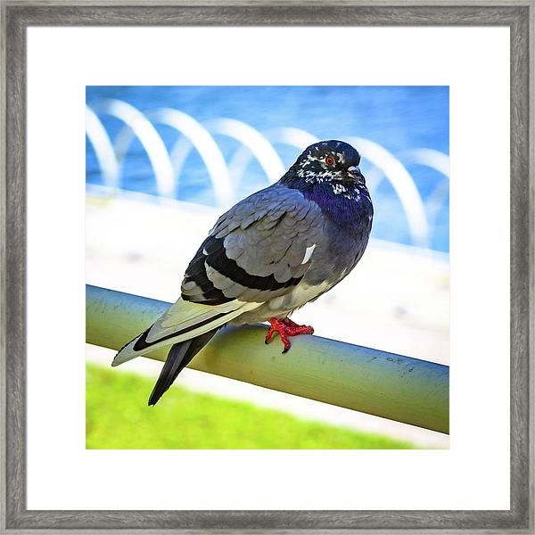 Mr. Pigeon Framed Print