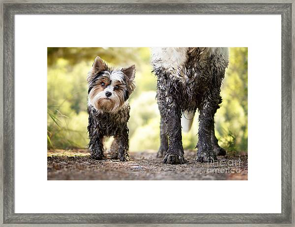 Muddy Little Dog Stands Next To A Muddy Framed Print by Stickler