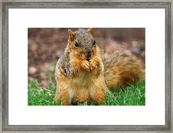 Munching Cute Fox Squirrel Framed Print