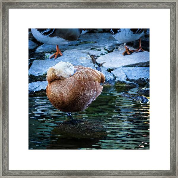Napping At The Pond Framed Print