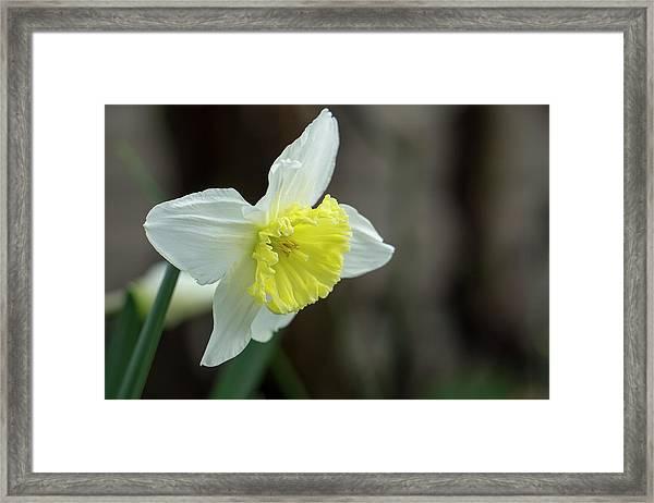 Narcissus - 19 4918 Framed Print