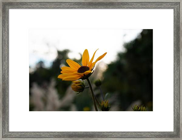 Narrowleaf Sunflower 2 Framed Print by Christine Buckley