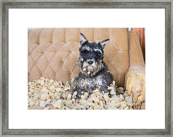 Naughty Bad Schnauzer Puppy Dog Sitting Framed Print