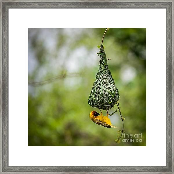 Nest-building Framed Print