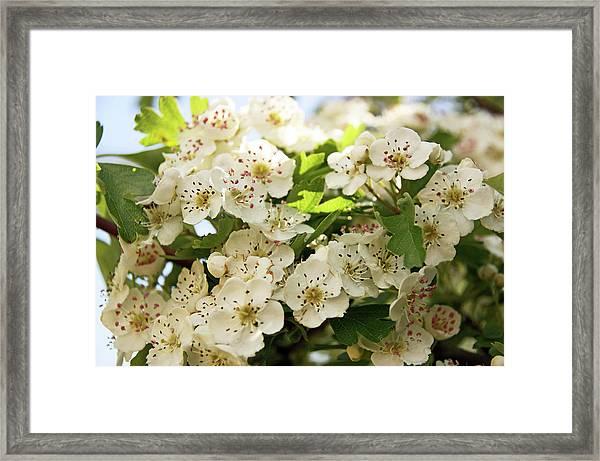 Neston.  Hawthorn Blossom. Framed Print