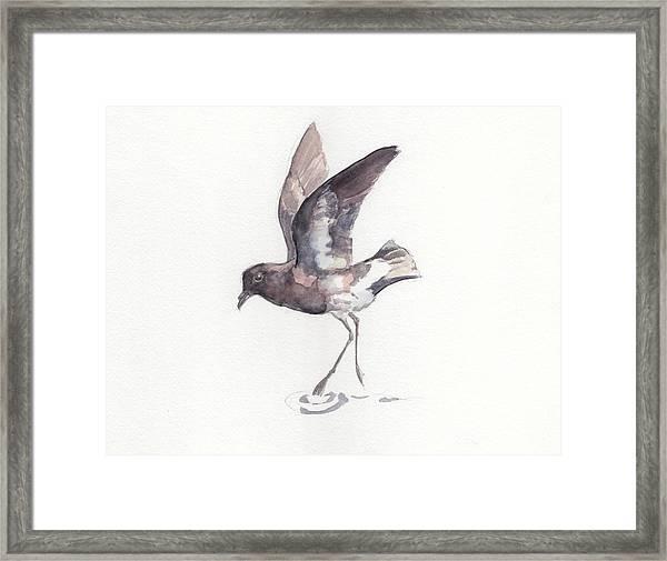 New Zealand Storm Petrel Framed Print