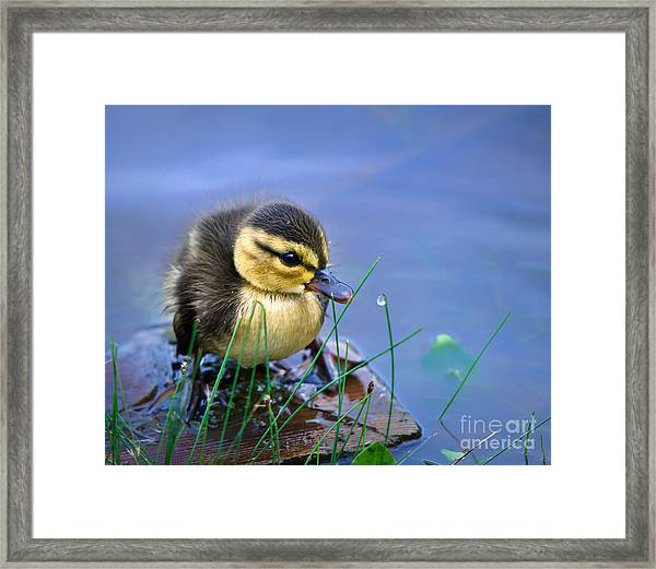 Newborn Duckling Framed Print