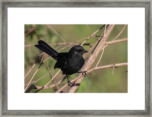 Northern Black Flycatcher Framed Print