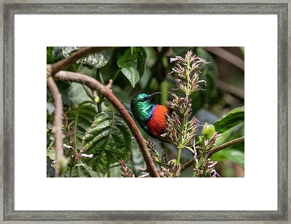 Northern Double-collared Sunbird Framed Print