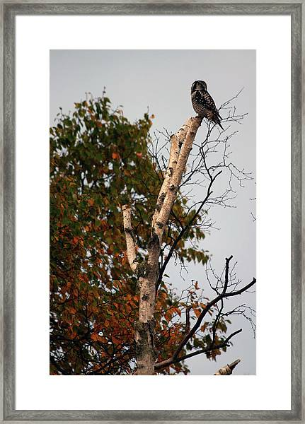 Northern Hawk Owl 101402 Framed Print