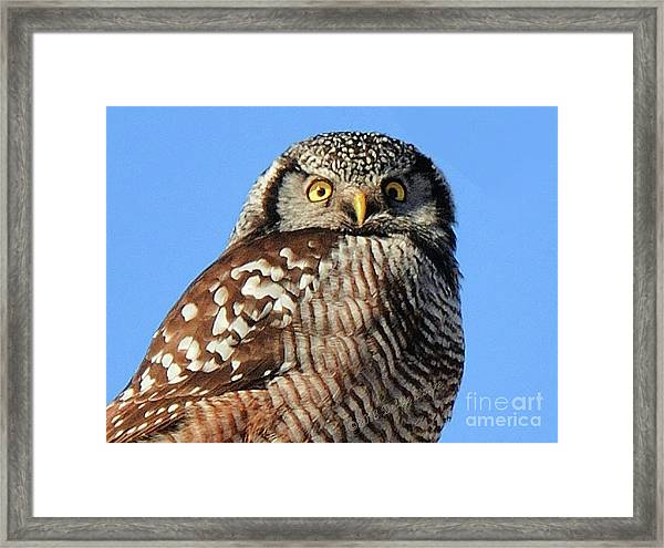 Northern Hawk-owl Framed Print