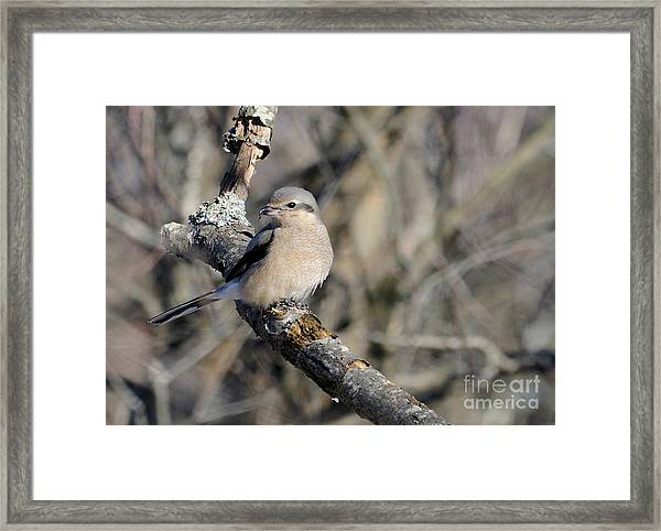 Northern Shrike Framed Print