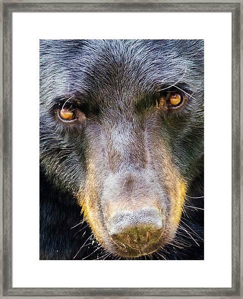 Nosy Bear Framed Print