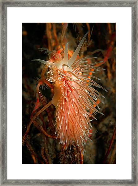 Nudibranch Climbing Its Hydroid Lunch Framed Print