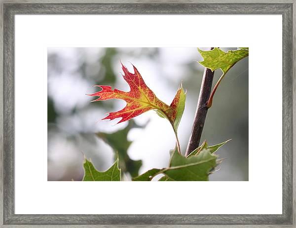 Oak Leaf Turning Framed Print