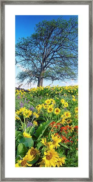 Oak Tree, Arrowleaf Balsam Root Framed Print by Stuart Westmorland