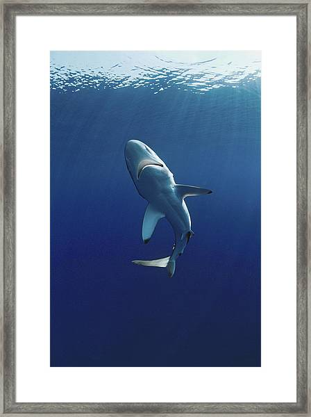 Oceanic Blacktip Shark Framed Print