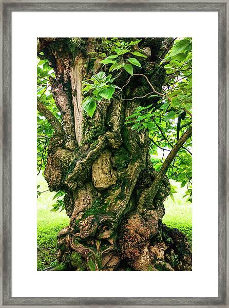 Old Catalpa Tree _ Chatham_3893_18 Framed Print