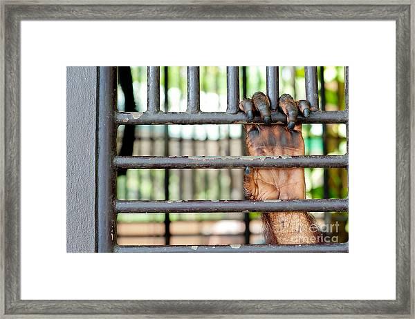 Old Orangutan Hand In The Old Grunge Framed Print