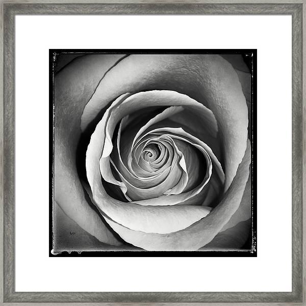 Old Rose Framed Print