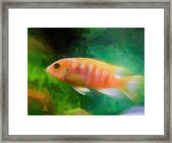 Orange Cichlid Chalk Smudge Framed Print