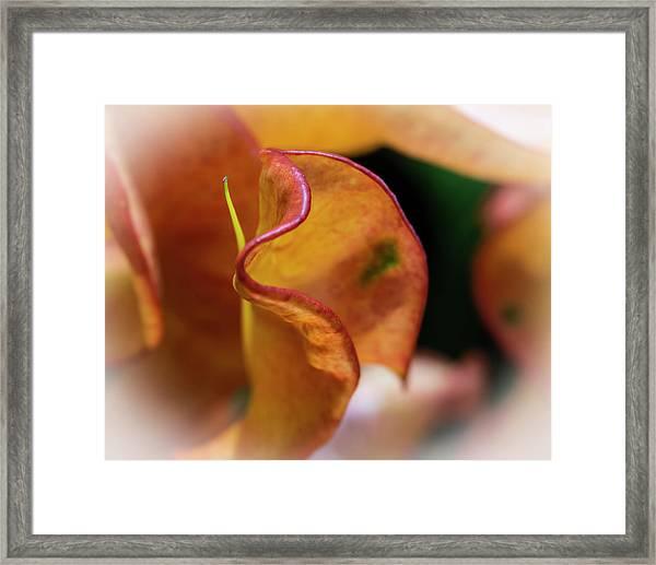 Orange Croton Framed Print