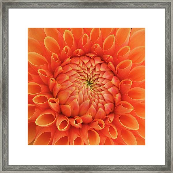 Orange Dahlia_0723_13 Framed Print