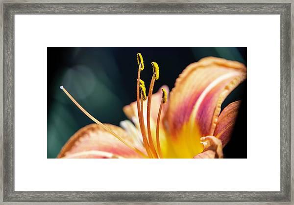Orange Day Lily Stamen Framed Print